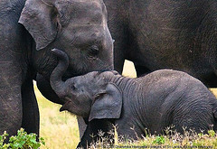 Lend me an ear mother! - IMG_4452 (by Dhammika Heenpella / Images of Sri Lanka)
